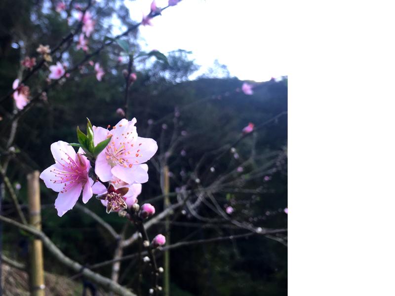 熊空四季氣候分明,隨著季節更替孕育不同美景<br>1-3月 櫻花<br>4-5月 紫籐、杜鵑<br>10-11月 芒花、楓葉<br>12-1月 梅花、李花、落羽松<br><<  按我,看最新消息  >>