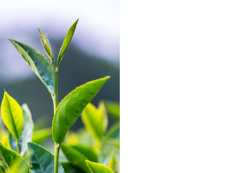 熊空碧螺春以清明節前手採第一批嫩芽製作而成,茶菁經冬天的休生養息,葉片厚實飽滿耐沖泡,條索紮實分明。茶湯碧綠清澈,蓄含淡淡海苔香氣與綠豆香氣,芬芳鮮醇清爽<br><<  按我,看最新消息  >>