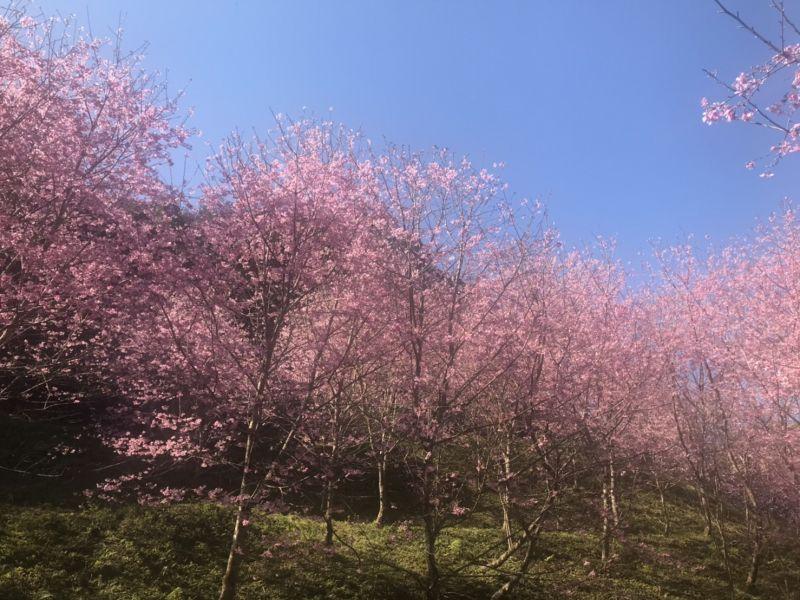 熊空茶園~富士櫻、吉野櫻盛開中~~~