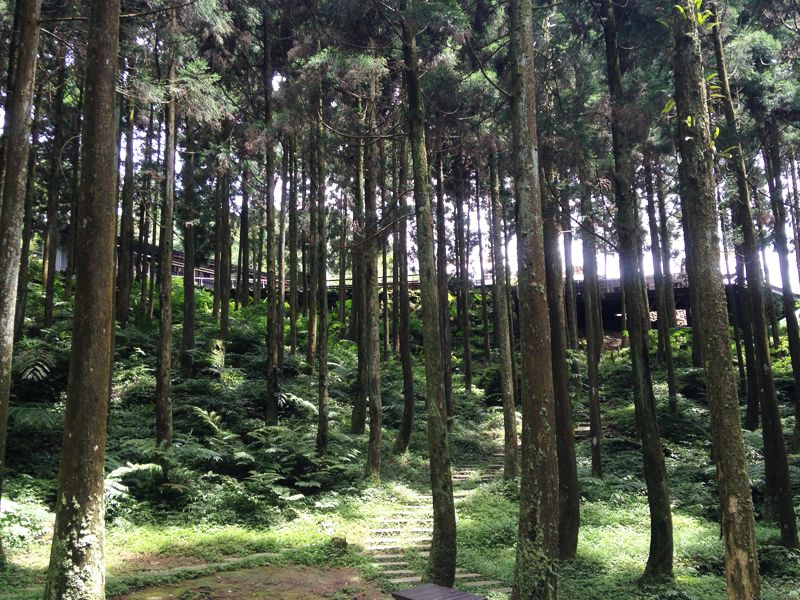 柳杉林步道